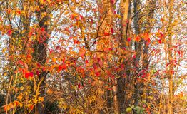 Autumn Leaves rosso su Autumn Forrest Wall Fotografia Stock Libera da Diritti