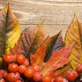Autumn leaves and rowan berries Stock Photography