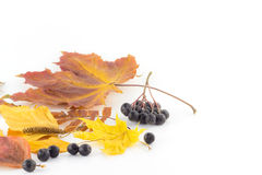 Autumn leaves and rowan. Autumn leaves and a handful of black mountain ash Royalty Free Stock Image