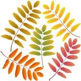 Autumn leaves rowan Stock Photo