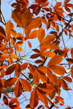 Autumn leaves. Of rubber tree Stock Photography