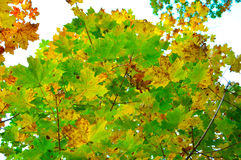 Autumn Leaves-samenstelling Royalty-vrije Stock Foto's