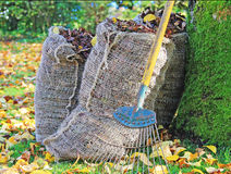 Bags of Autumn Leaves, with Rake. An autumn scene with sacks of leaves ready for the compost, a leaf rake leaning against a tree all surrounded by leaves on the Royalty Free Stock Photo
