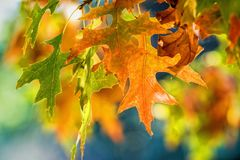 Autumn Leaves. Autumn is the season after summer, when leaves fall from trees. It`s also the season when the days get shorter and colder, and everything turns Stock Images