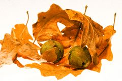 Autumn leaves and seeds  Stock Photos