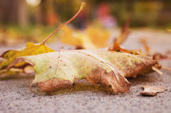 Autumn leaves. Selective focus on autumn leaves on the sidewalk as seen from a worm's eye view Stock Images