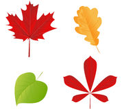 Autumn leaves set. Vector autumn leaves set on white background Royalty Free Stock Photography
