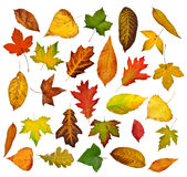 Autumn leaves set. Royalty Free Stock Photography