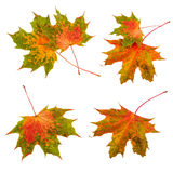 Autumn leaves set collection. Maple leaves isolated on white background Royalty Free Stock Photography