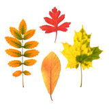 Autumn leaves set Royalty Free Stock Photography