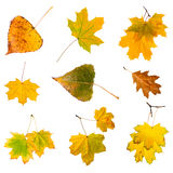 Autumn leaves set isolated on white background. Royalty Free Stock Photos
