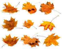 Autumn leaves set isolated on white background. Royalty Free Stock Photo