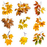 Autumn leaves set isolated on white background. Stock Photography