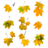 Autumn leaves set isolated on white background. Stock Images