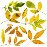 Autumn leaves set. White isolated Stock Image