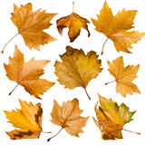 Autumn leaves set. White isolated Royalty Free Stock Photo