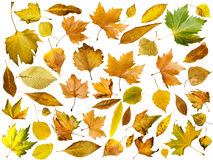 Autumn leaves set. White isolated stock photos