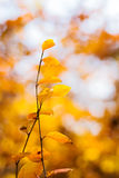 Autumn leaves shallow focus. Autumn yellow leaves shallow focus Stock Photography