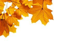 Autumn leaves shallow Royalty Free Stock Photo