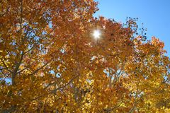 Autumn Leaves in the Sierras in the Sun royalty free stock image