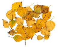 Autumn leaves of a Silver Birch Stock Image