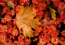 Autumn Leaves sits atop orange flowers in Lviv, Ukraine. Autumn leaves sit atop a cold, yet vibrant, orange flowers. It was quite striking Stock Photography