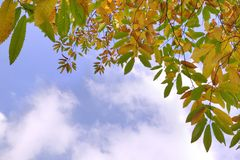 Autumn leaves and sky. Horse chestnut leaves in Autumn against a bright blue cloudy sky Stock Photos