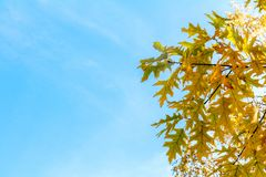 Autumn leaves sky background. Autumn maple trees branch with yel Stock Image