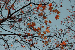 Autumn leaves, sky Royalty Free Stock Images