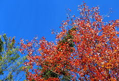 Autumn leaves and sky in Vermont Stock Photography