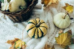 Autumn leaves and small decorative pumpkins on warm cozy knit sw royalty free stock image