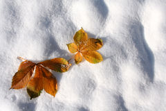 Autumn leaves on the snow. stock photo