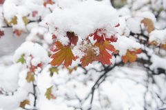 Autumn leaves in snow. Colorful autumn leaves under  snow closeup, local focus, shallow DOF Stock Photo