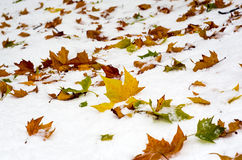 Autumn leaves on snow Royalty Free Stock Photography