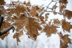Autumn leaves in the snow Stock Photo