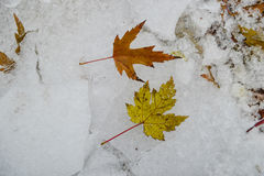 Autumn leaves on the snow. Autumn mapple leaves on the snow Stock Images