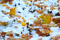 Autumn leaves in the snow stock images