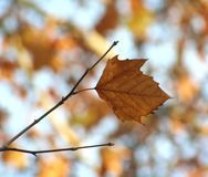 Autumn leaves. Some autumn leaves with bright background Royalty Free Stock Image