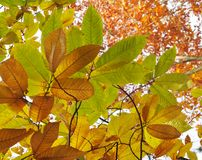 Autumn leaves. Some autumn leaves with bright background Stock Photography