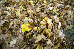 Autumn leaves. Some autumn leaves in nice colours Royalty Free Stock Image