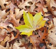 Autumn leaves. Some autumn leaves and a yellow one Royalty Free Stock Images