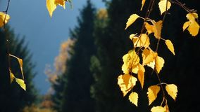 Autumn Leaves With Spruce Trees archivi video