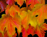 Autumn leaves stand alone as a design element. Autumn leaves beautifully arranged in beautiful fall  hues of yellow, magenta, orange, red and purple Stock Photo