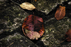 Autumn leaves on stones. High dynamic range macro of Autumnal leaves on rocks or stones Royalty Free Stock Images
