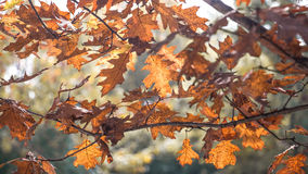 Autumn leaves stransparency. Brown and red oak autumn leaves on the branches in transparency stock image
