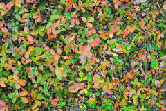 Autumn leaves strawberry background Stock Photography