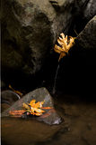 Autumn Leaves in Stream. Fallen autumn leaves litter stream rocks Royalty Free Stock Photography
