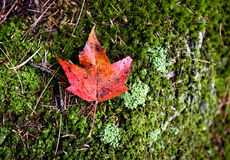 Autumn Leaves Sugar Maple Fotografia de Stock