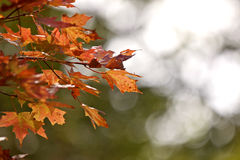 Autumn Leaves Sugar Maple Royalty Free Stock Photo