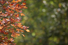 Autumn Leaves Sugar Maple Stock Photography